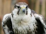 Falcon by cameraatje, Photography->Birds gallery