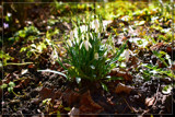 F² Snow-Drops by corngrowth, photography->flowers gallery