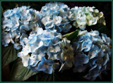 I've Got the Blues by trixxie17, photography->flowers gallery