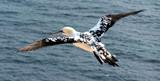 Northern Gannel in Helgoland by raminalexander, Photography->Birds gallery