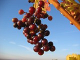 November Grapes by BernieSpeed, Photography->Nature gallery