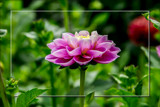Dahlia Show 46 by corngrowth, photography->flowers gallery