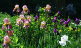 Irises in The Field by jerseygurl, photography->manipulation gallery
