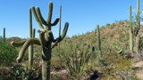 Saguaro Cactus by ted3020, photography->landscape gallery