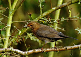 Female Blackbird by biffobear, photography->birds gallery