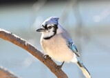 The BlueJay Outside My Window by tigger3, photography->birds gallery