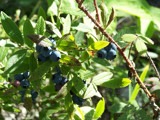 Wild Blueberries by Twig963, Photography->Food/Drink gallery