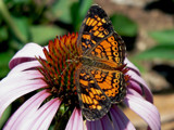 Summer orange by ted3020, Photography->Butterflies gallery