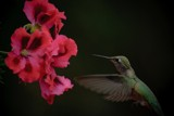 Green Hummingbird & Red Flowers by inaz, Photography->Birds gallery