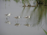 American Avocet, winter plummage by stoneytreehugger, Photography->Birds gallery