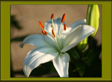 A  Regal Lily For  Foofy Friday and Our Birthday Boy O.B. by tigger3, Photography->Flowers gallery