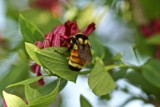Bumble bee at work by richwn, photography->insects/spiders gallery