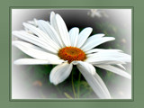 Lazy Daisy by LynEve, Photography->Flowers gallery