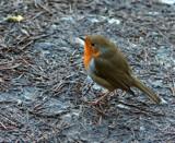 Robin by biffobear, photography->birds gallery