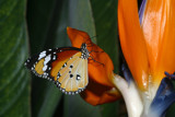 Orange on Orange by rahto, Photography->Butterflies gallery