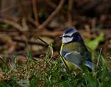 Bluetit by biffobear, photography->birds gallery