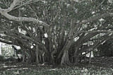 """BANYAN TREE in B/W"" by icedancer, contests->b/w challenge gallery"