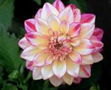 Dahlia Beauty by trixxie17, photography->flowers gallery