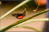 Butterfly 16 by corngrowth, photography->butterflies gallery