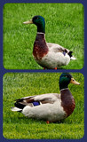 Daffy Duck by trixxie17, photography->birds gallery