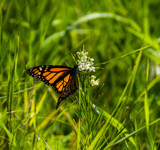 Monarch on Poison Milkweed by Pistos, photography->butterflies gallery