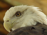 American Bald Eagle by Janromeo, Photography->Birds gallery