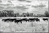 Grazing The Pastures In B&W by corngrowth, contests->b/w challenge gallery