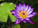 another lovely (water) lily by jeenie11, Photography->Flowers gallery