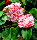 Camellia's by MrsB, photography->flowers gallery