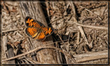 Pearl Crescent 2 by Jimbobedsel, photography->butterflies gallery