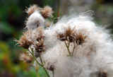 Burs In the Cotton by Nikoneer, photography->nature gallery