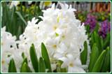 True Hyacinth by trixxie17, photography->flowers gallery