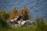Heron on the Rocks by Pistos, photography->birds gallery