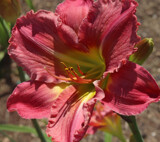 Daylily From the Field by jerseygurl, photography->flowers gallery