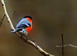 Bully on a Branch by biffobear, photography->birds gallery