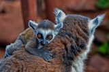 Baby Lemur by biffobear, photography->animals gallery