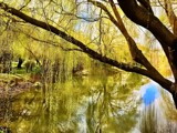 Willows By The Lake 2 by flanno2610, photography->landscape gallery