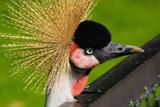 Crown Bird by Ramad, photography->birds gallery