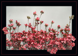 Dazzling Dogwoods!! by verenabloo, Photography->Flowers gallery