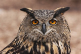 whoops.....another owl by egggray, Photography->Birds gallery