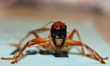 WETA by slushie, photography->insects/spiders gallery