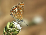 Common blue - female by ekowalska, photography->butterflies gallery