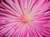 Mums the Word by ccmerino, photography->flowers gallery