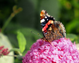 Red Admiral by biffobear, photography->butterflies gallery