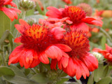 Gaillardia 'Red Sun' by trixxie17, photography->flowers gallery