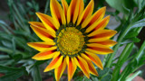 Happy Face of a Flower Gazania ! by indiana_gs, photography->flowers gallery