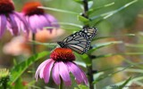 The First Monarch Of 2021 by tigger3, photography->butterflies gallery
