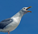 Alan ! by biffobear, photography->birds gallery