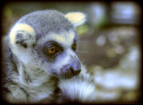 Lemur by guro, Photography->Animals gallery