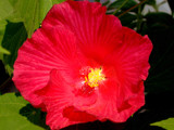 Glorious Red Flower by connodado, Photography->Flowers gallery